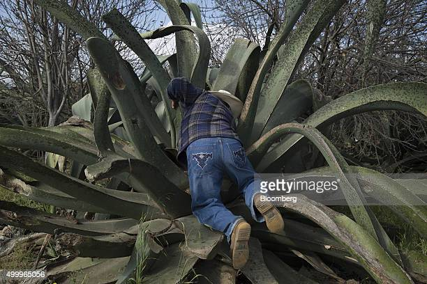 A worker prepares a maguey plant to extract honey water from it to make pulque at the Del Razo family's Rancho San Isidro farm and pulque production...