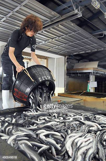 A worker prepares for shipment of 'Isshiki Unagi' on June 12 2014 in Nishio Aichi Japan The Japanese eel has been named an endangered species on an...