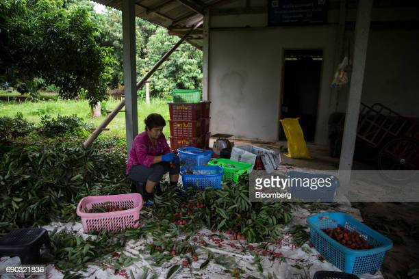 A worker prepares harvested lychees for packing at an orchard in the Chai Prakan district of Chiang Mai province Thailand on Sunday May 28 2017...