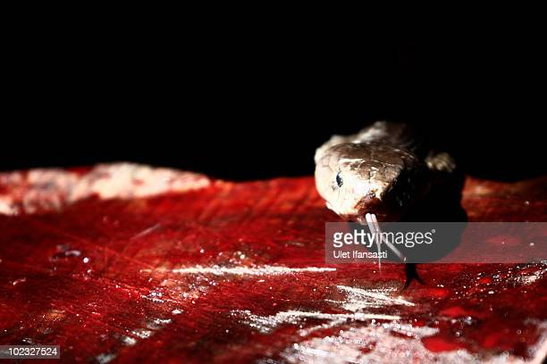 A worker prepares to cut up a cobra as they are harvested to make into burgers on June 23 2010 in Yogyakarta Indonesia The snakes are caught and...