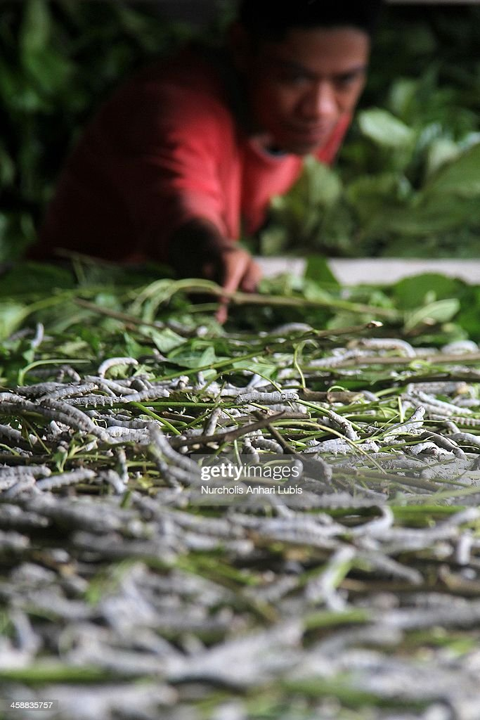 A worker provides a supply of murbei leaves for silkworms at a silk fibre production unit on December 21, 2013 in Bogor, Indonesia.The Indonesian silk industry is well established although generally consisting of small and local producers in contrast to more developed competition and industry seen in countries such as Japan, China and Thailand. The silk produced is used in the manufacture of traditional handicrafts including batik clothing and textiles.
