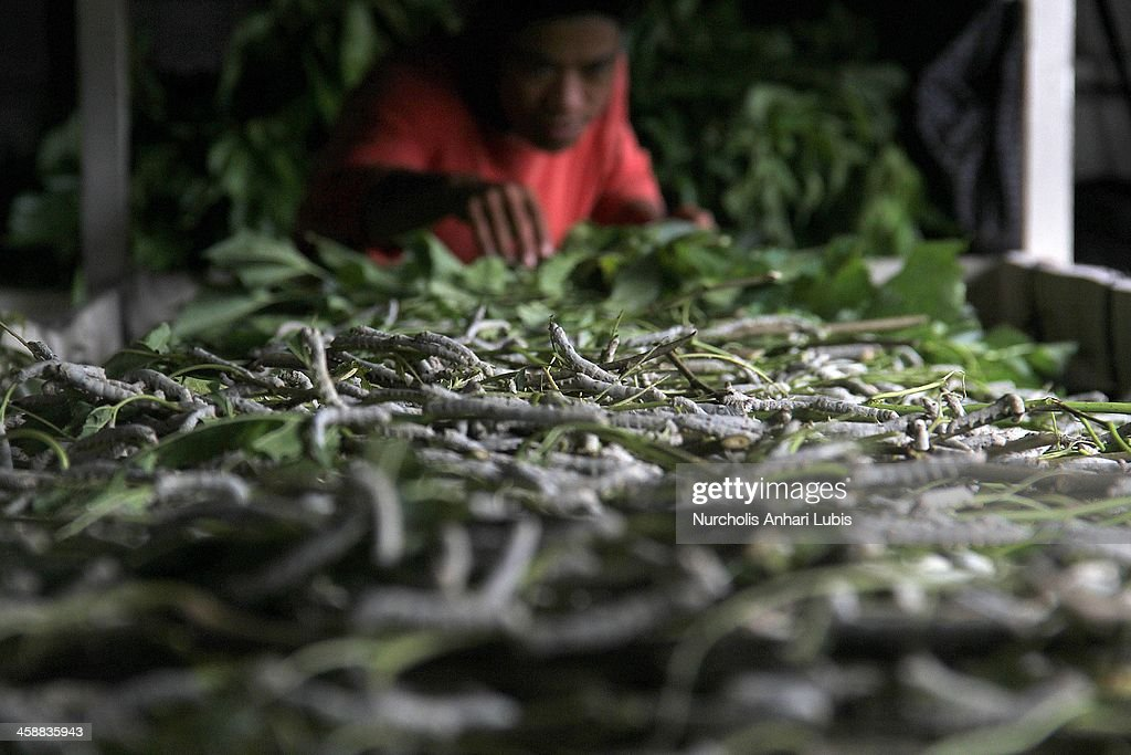 A worker provides a supply of murbei leaves for silkworms at a silk fibre production unit on December 21, 2013 in Bogor, Indonesia. The Indonesian silk industry is well established although generally consisting of small and local producers in contrast to more developed competition and industry seen in countries such as Japan, China and Thailand. The silk produced is used in the manufacture of traditional handicrafts including batik clothing and textiles.