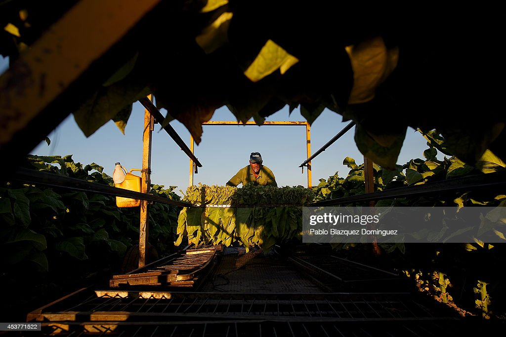A worker pushes a load of ripe tobacco leaves on top of a 'gua-gua' (farm tractor trailer used for tobacco) during the tobacco harvest on a farm on August 15, 2014 near Valverde de la Vera, in Extreamdura region, Spain. There is one team of workers left who still do the Virginia tobacco harvest manually. Spain is the third biggest producer of tobacco in Europe. Around 90 percent of Spanish tobacco is grown in Extremadura, providing an income to around 20,000 families in the region. In recent years tobacco farming in Extremadura has started to mechanize, becoming more competitive but also leading to the loss of manual labour jobs.