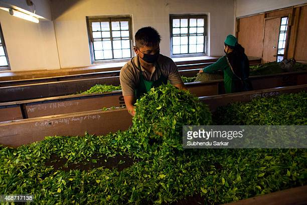 A worker puts tea leaves in a trough at Makaibari tea factory Set up in 1859 off Kurseong in the Darjeeling hills the Makaibari estate is the worlds...