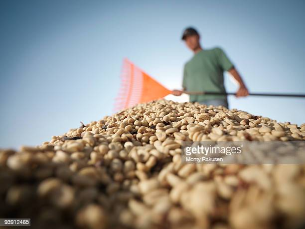 Worker Raking Pile Of Coffee Beans