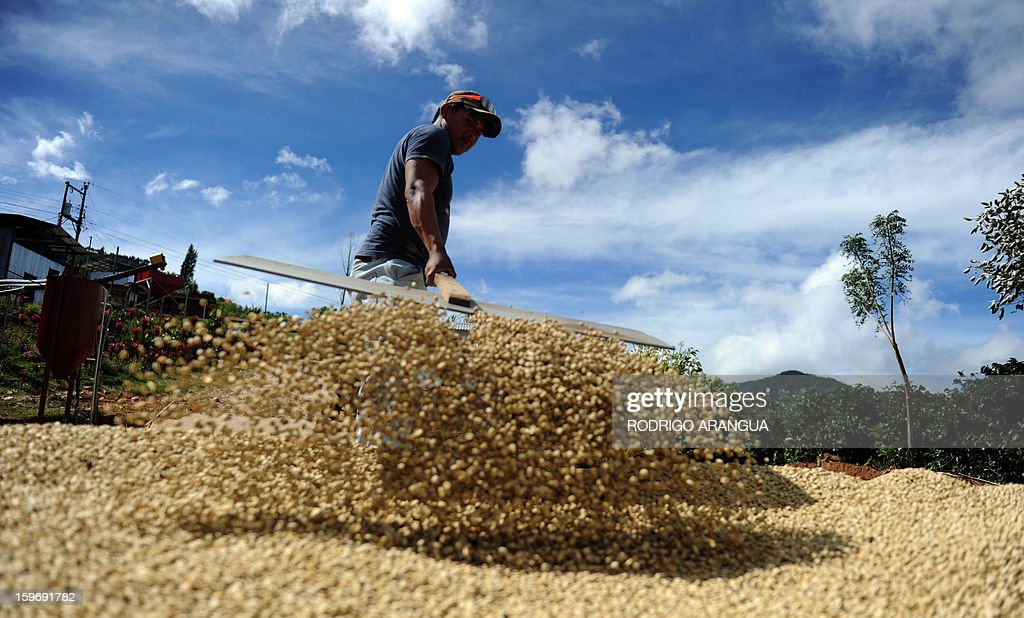 A worker removes coffee beans drying in the sun, in a farm in Santa Maria de Dota, 78km from San Jose, on January 17, 2013. Central America, one of main producers of the best Arabica Coffee, is analyzing to take measures to combat the Roya (Puccinia graminis) blight already threatening more than one third of the grain crop, one of the region's major export items. AFP PHOTO/ Rodrigo ARANGUA