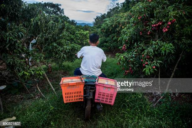 A worker rides a motorcycle loaded with boxed lychees through an orchard in the Chai Prakan district of Chiang Mai province Thailand on Saturday May...