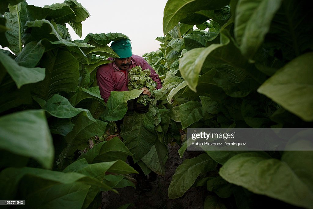 A worker selects and collects ripe tobacco leaves from the bottom of the plants during the tobacco harvest on a farm on August 15, 2014 near Valverde de la Vera, in Extreamdura region, Spain. There is one team of workers left who still do the Virginia tobacco harvest manually. Spain is the third biggest producer of tobacco in Europe. Around 90 percent of Spanish tobacco is grown in Extremadura, providing an income to around 20,000 families in the region. In recent years tobacco farming in Extremadura has started to mechanize, becoming more competitive but also leading to the loss of manual labour jobs.