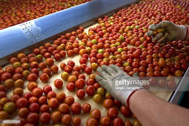 A worker selects cherry tomatoes in an international vegetable distribution factory on August 8 2014 in Motril Spain Russia have announced a ban on...