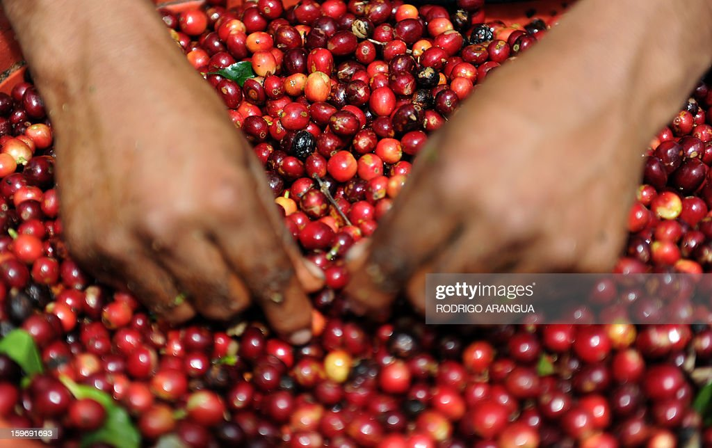 A worker selects coffee beans, in a farm in Santa Maria de Dota, 78km from San Jose, on January 17, 2013. Central America, one of main producers of the best Arabica Coffee, is analyzing to take measures to combat the Roya (Puccinia graminis) blight already threatening more than one third of the grain crop, one of the region's major export items. AFP PHOTO/ Rodrigo ARANGUA