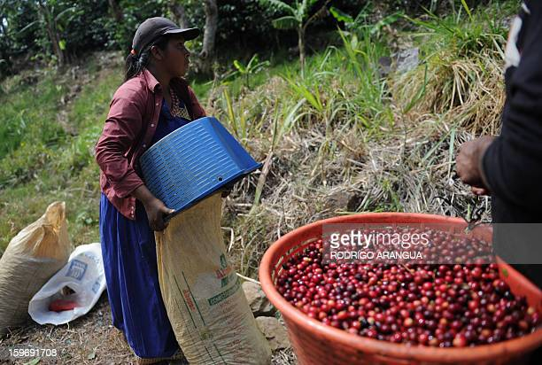 A worker selects coffee beans in a farm in Santa Maria de Dota 78km from San Jose on January 17 2013 Central America one of main producers of the...