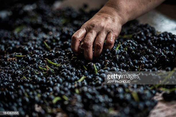 A worker selects grapes in a MeoCamuzet winery in VosneRomanee during the harvest period on October 8 2013 AFP PHOTO / JEFF PACHOUD