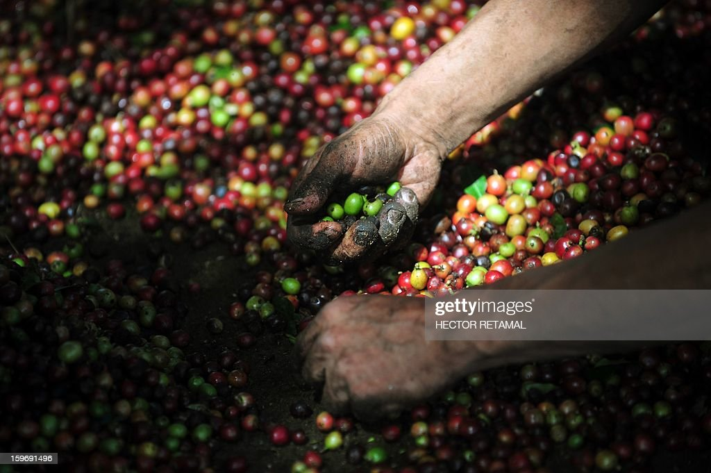 A worker separates coffee beans at a farm in Cuatro Esquinas, on the outskirts of Diriamba some 32 km south from Managua, on January 17, 2013. Central America, one of main producers of the best Arabica Coffee, is analyzing to take measures to combat the Roya (Puccinia graminis) blight already threatening more than one third of the grain crop, one of the region's major export items. AFP PHOTO/Hector RETAMAL