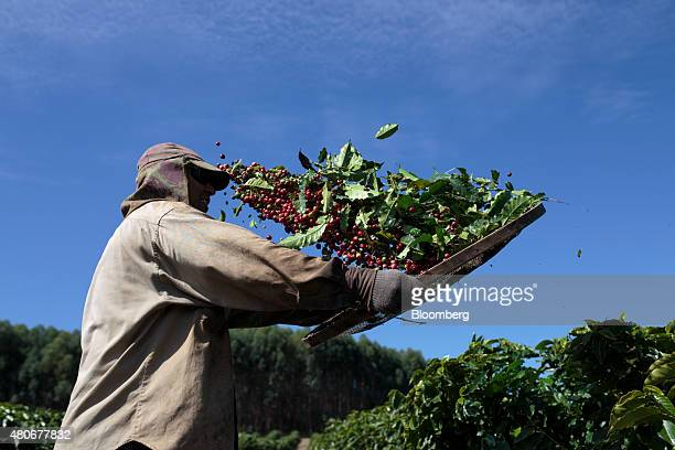 A worker separates coffee cherries during harvest at a plantation in the Minas Gerais state near Guaxupe Brazil on Friday July 10 2015 Brazil's...