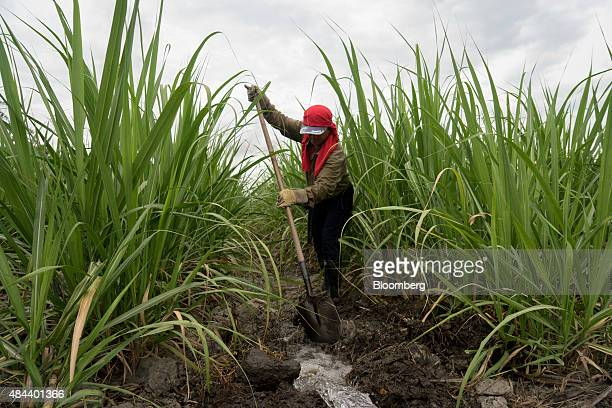 A worker shovels dirt to allow water to flow through a field during irrigation at the Ingenio Mayaguez SA sugar plantation in Florida Colombia on...