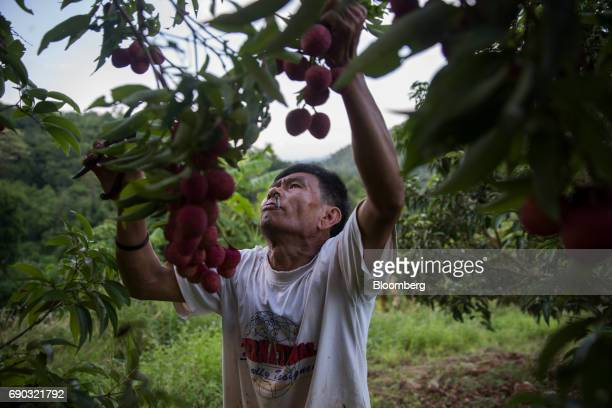 A worker smokes while handpicking lychees at an orchard in the Chai Prakan district of Chiang Mai province Thailand on Saturday May 27 2017...