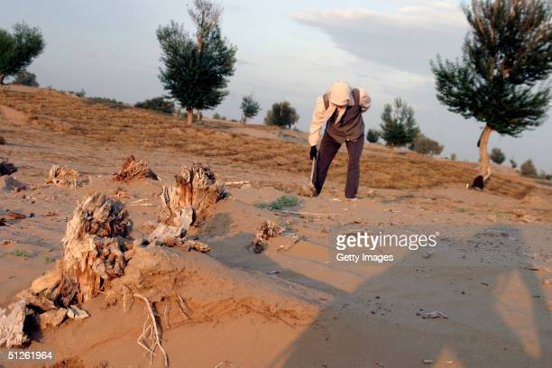 A worker sticks straw into the Gobi desert to prevent sand movement September 4 2004 Yinchuan China In order to stop continuous desertification local...