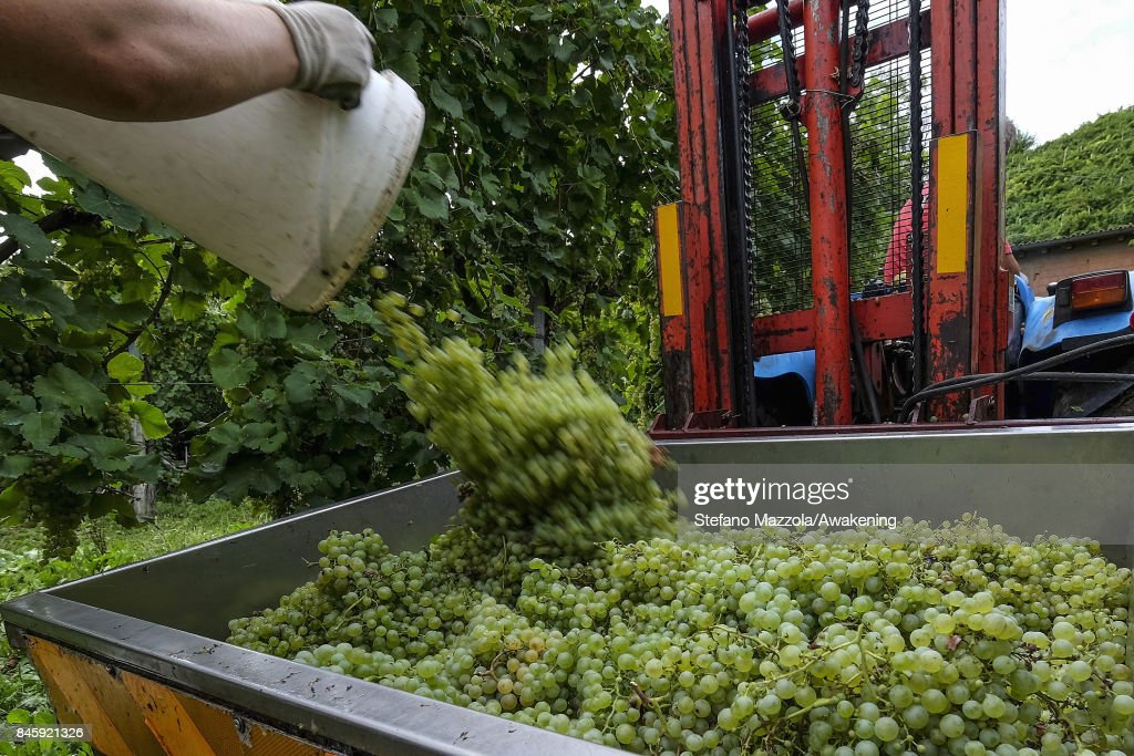 A worker stores grapes for Prosecco in a box on September 11, 2017 in Treviso, Italy. According to Coldiretti, the Italian agricultural lobby, British buyers drank 40 million liters of Prosecco in 2016 and spent more than 350 million euros on it, representing approximately 30% market growth for the year.