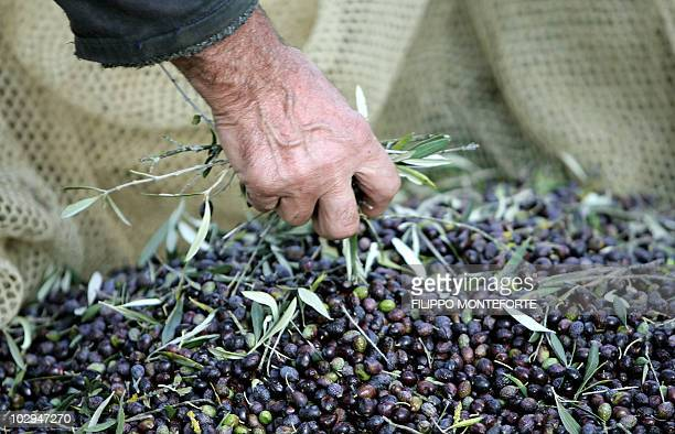 A worker takes off leaves form a net under an olive tree in an olive grove near Pienza 06 October 2007 Olive picking started early November all over...