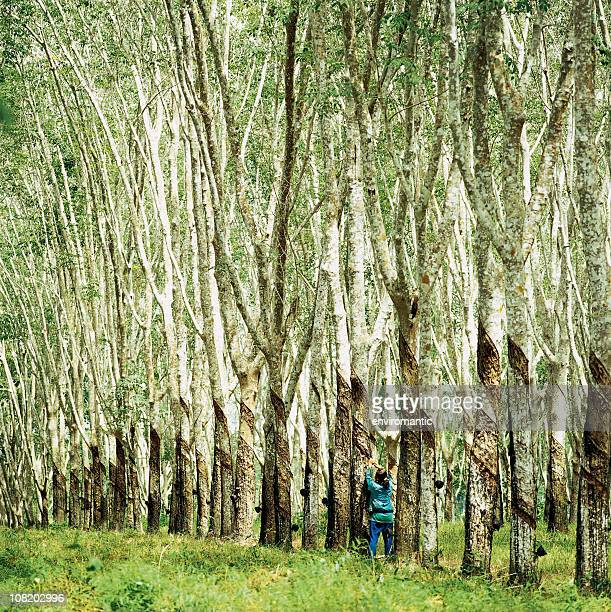 Worker tapping rubber trees in a plantation.