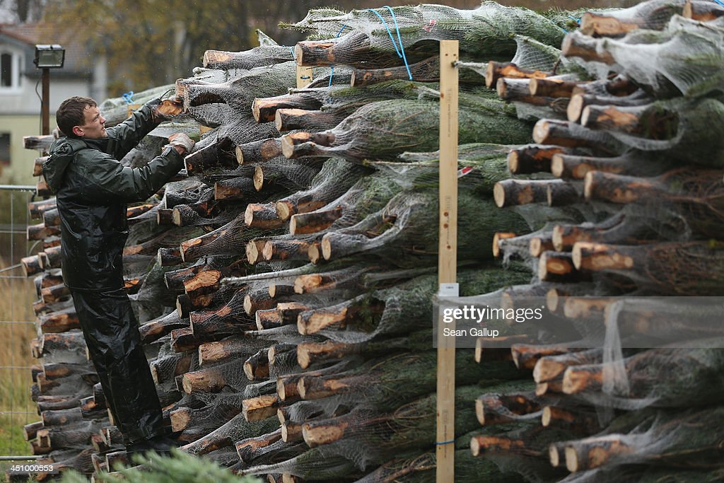 Worker Tim Muschke pulls out wrapped Christmas trees from a stack at Grimm's outdoor Christmas tree market in Teltow district on November 20, 2013 just outside Berlin, Germany. With Christmas still over a month away, the city of Berlin is already busy preparing for the holiday.