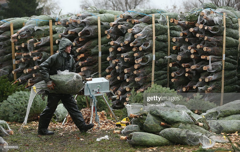 Worker Tim Muschke unpacks wrapped Christmas trees from a stack at Grimm's outdoor Christmas tree market in Teltow district on November 20, 2013 just outside Berlin, Germany. With Christmas still over a month away, the city of Berlin is already busy preparing for the holiday.