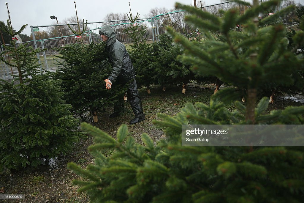 Worker Tim Muschkesets up Christmas trees for display at Grimm's outdoor Christmas tree market in Teltow district on November 20, 2013 just outside Berlin, Germany. With Christmas still over a month away, the city of Berlin is already busy preparing for the holiday.