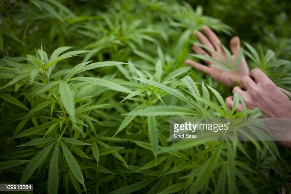 A worker touches plants at a cannabis greenhouse at the growing facility of the Tikun Olam company on March 7 2011 near the northern city of Safed...