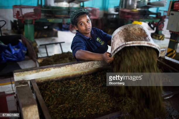 A worker transfers partially processed tea leaves into a machine at the factory of the Geragama Tea Estate operated by Pussellawa Plantations Ltd in...