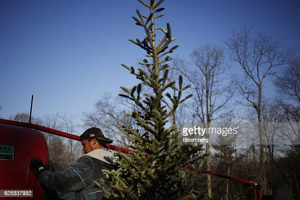 A worker uses a Howey Tree Baler Corp machine to package trees at Brown's Tree Farm in Muncy Pennsylvania US on Wednesday Nov 23 2016 There are close...