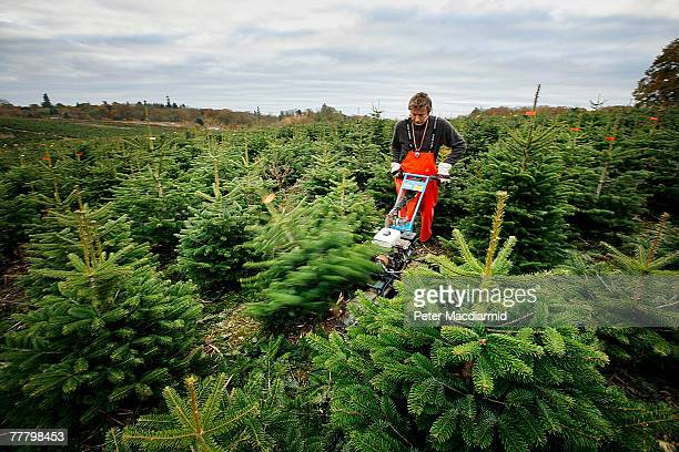 A worker uses a mechanical cutter to fell Nordman fir trees on the Yattendon Estate on November 8 2007 near Reading England Workers harvest 50000...