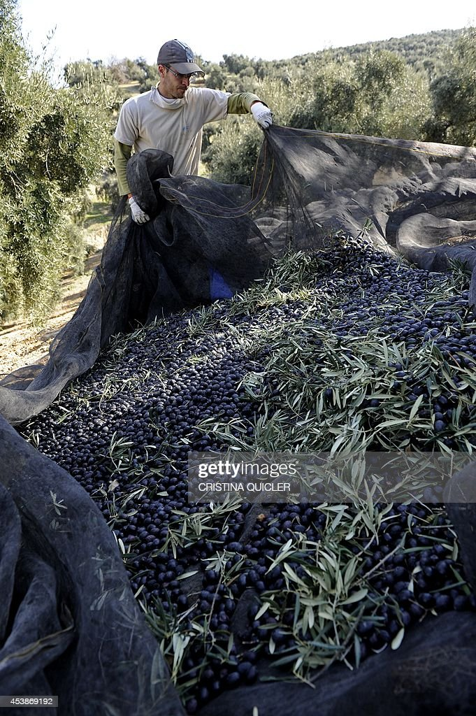 A worker uses a net to collect olives from trees on March 6 2012 on a 40hectare farm in the southern Spanish village of Iznajar between Cordoba and...
