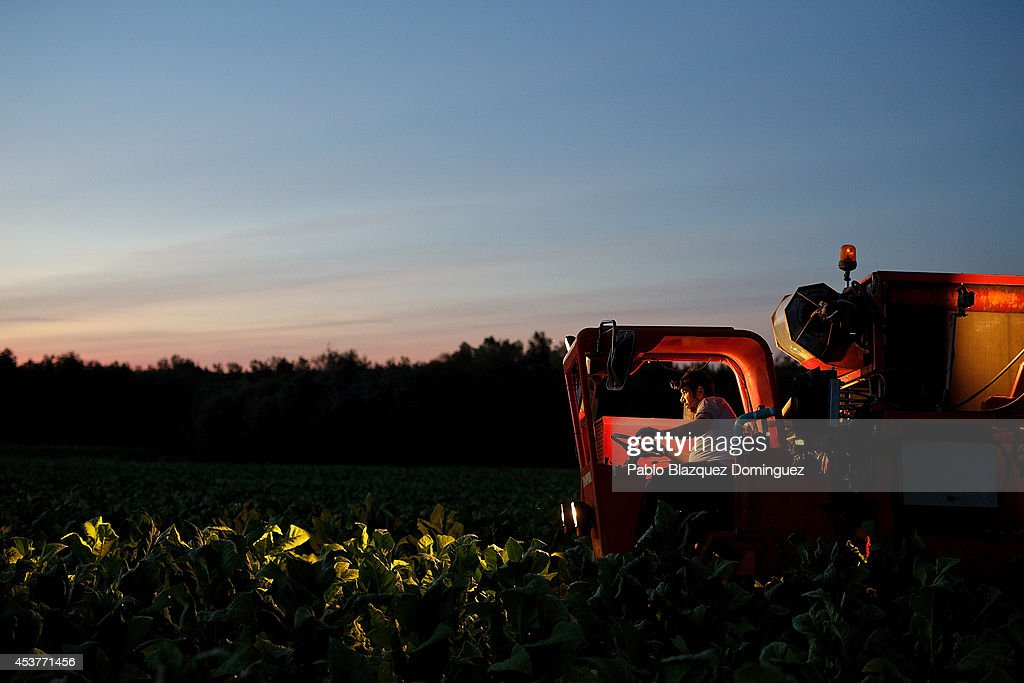 A worker uses a tobacco harvester on a farm on August 14, 2014 near Tietar, in Extreamdura region, Spain. There is one team of workers left who still do the Virginia tobacco harvest manually. Spain is the third biggest producer of tobacco in Europe. Around 90 percent of Spanish tobacco is grown in Extremadura, providing an income to around 20,000 families in the region. In recent years tobacco farming in Extremadura has started to mechanize, becoming more competitive but also leading to the loss of manual labour jobs.