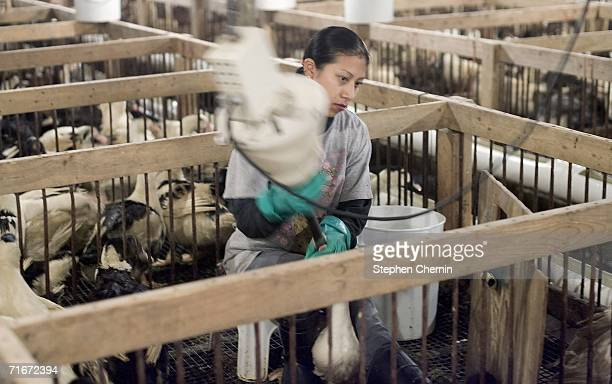 A worker uses the force feeding machine to feed ducks at Hudson Valley Foie Gras August 17 2006 in Ferndale New York Chicago's ban on foie gras...