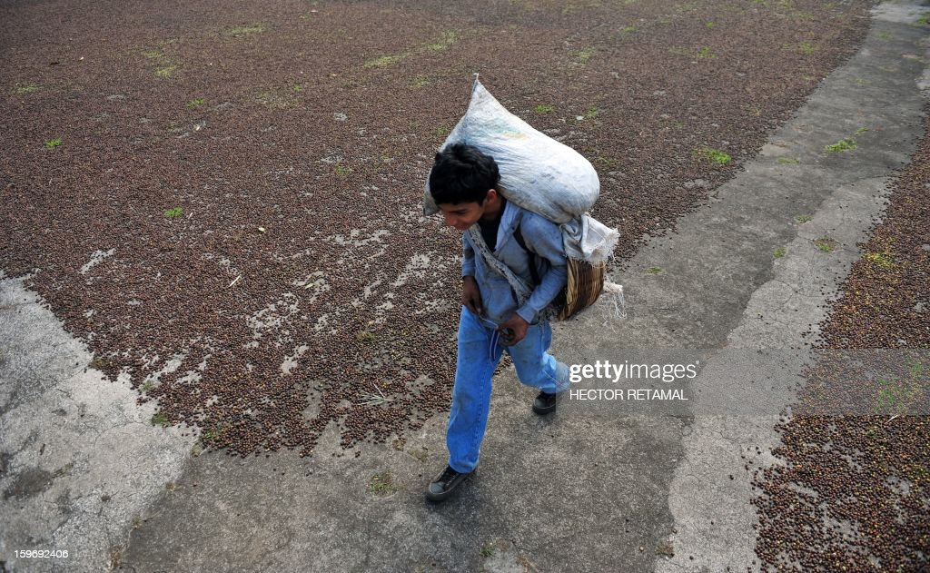 A worker walks along a path left between coffee beans drying in the sun at a farm in San Ramon, a town on the outskirts of Diriamba some 32 km south from Managua, on January 17, 2013. Central America, one of main producers of the best Arabica Coffee, is analyzing to take measures to combat the Roya (Puccinia graminis) blight already threatening more than one third of the grain crop, one of the region's major export items. AFP PHOTO/Hector RETAMAL