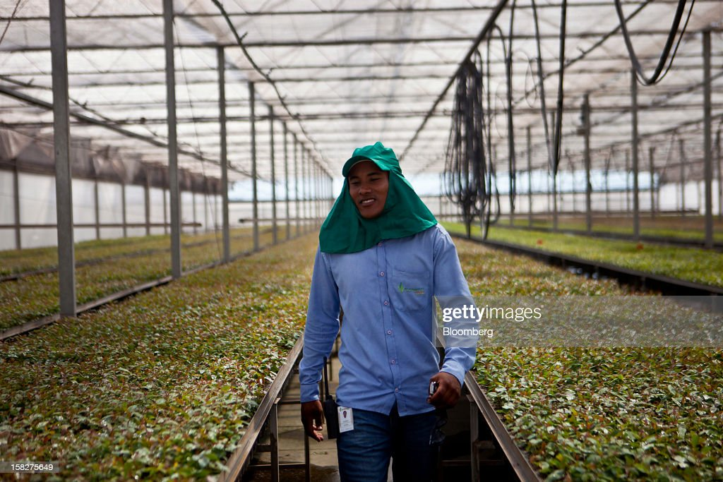 A worker walks between trays of planted eucalyptus at the Eldorado Celulose e Papel S.A seedling nursery in Andradina, Brazil, on Tuesday, Dec. 11, 2012. Eldorado Celulose e Papel S.A is finishing construction on a pulp processing plant that is expected to be one of the the world's largest single-line pulp plants when it reaches peak production. Photographer: Dado Galdieri/Bloomberg via Getty Images