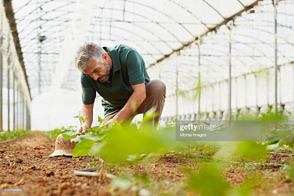 Worker working in greenhouse