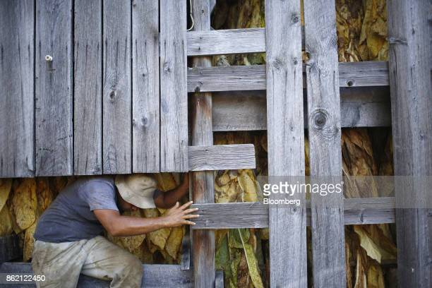 A worker wxits a barn after hanging harvested burley tobacco leaves at Tucker Farms in Shelbyville Kentucky US on Thursday Aug 24 2017 Kentucky crop...