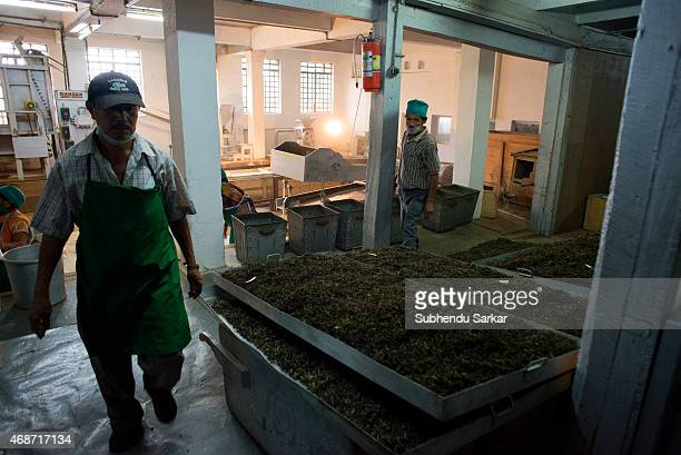 Workers are busy collecting tea leaves of various gradations from a machine that sorts out tea at Makaibari tea factory Set up in 1859 off Kurseong...
