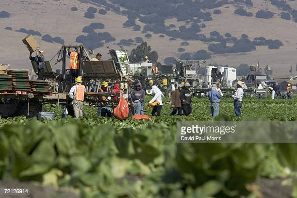 Workers are seen in a lettuce field October 9 2006 in Gonzales California Nunes Co voluntarily recalled 8500 cartons of its Foxybrand lettuce from...