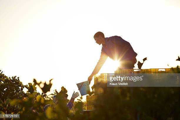 Workers at fruit farm handling bucket of figs