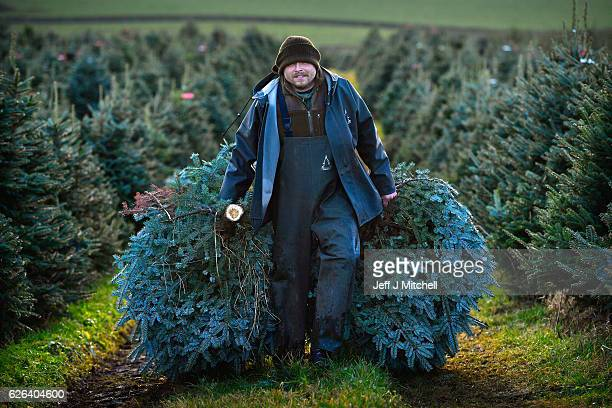 Workers at Glaisters Farm near Dumfries harvest this year's crop of Christmas trees as they prepare for the festive season on November 29 2016 in...