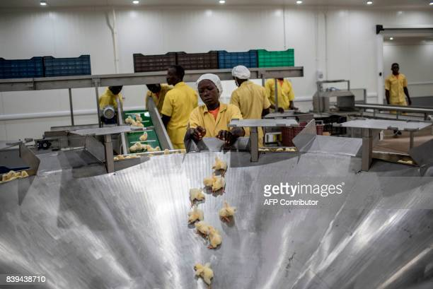Workers at the Valentine Chicken Hatchery sort dayold chicks onto a conveyer belt for inspection on July 12 2017 Farming in Nigeria is not for the...