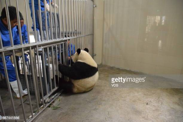 Workers cage giant panda Xing Ya at Wolong National Nature Reserve as the panda will leave for Netherlands on April 11 2017 in Ngawa Tibetan and...