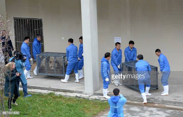 Workers cage giant pandas Xing Ya and Wu Wen at Wolong National Nature Reserve to transfer them to Netherlands on April 11 2017 in Ngawa Tibetan and...