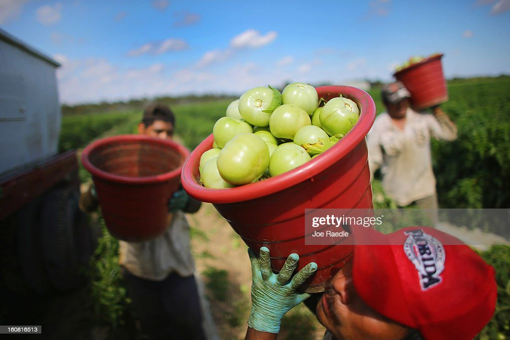Workers carry buckets of tomatoes as they harvest them in the fields of DiMare Farms on February 6, 2013 in Florida City, Florida. The United States government and Mexico reached a tentative agreement that would go into effect around March 4, on cross-border trade in tomatoes, providing help for the Florida growers who said the Mexican tomato growers were dumping their product on the U.S. markets.