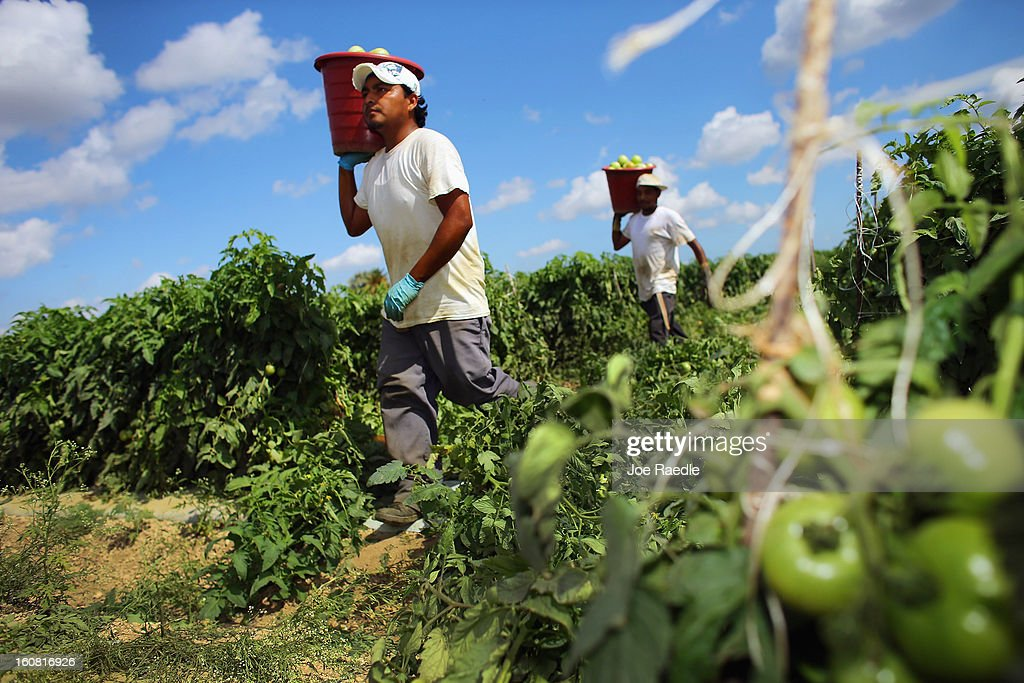 Workers carry buckets of tomatoes as they harvest them in the fields of DiMare Farms on February 6, 2013 in Florida City, Florida. The United States government and Mexico reached a tentative agreement that would go into effect around March 4th, on cross-border trade in tomatoes, providing help for the Florida growers who said the Mexican tomato growers were dumping their product on the U.S. markets.