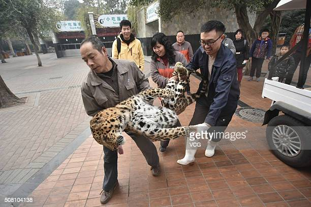 Workers carry the anesthetic leopard to its new room at Chengdu Zoo on February 2 2016 in Chengdu Sichuan Province of China 9 leopards and panthers...