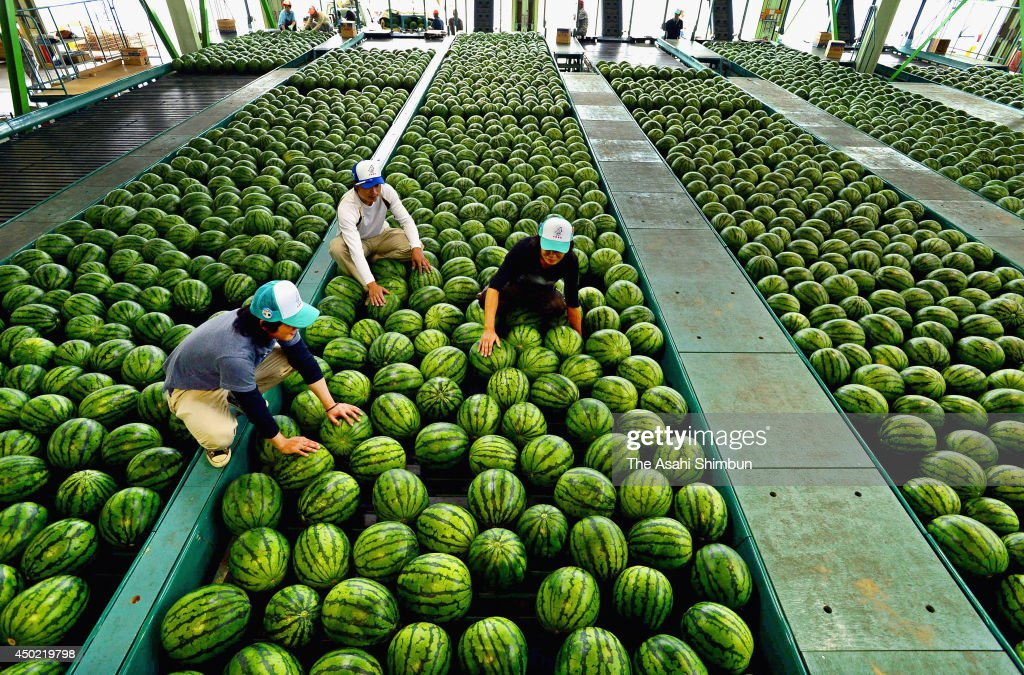 Workers categorise Daiei watermelons for shipment on June 6, 2014 in Hokuei, Tottori, Japan.