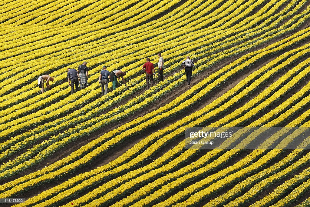 Workers check tulip heads in a tulip field on April 27, 2012 near Schwaneberg, Germany. Spring weather is finally taking hold in Germany with temperatures expected to reach 28 degrees Celsius by the weekend. Since the tulips will be sold for their bulbs rather than their flowers, the workers need to check that the machine that bends the tulip heads over (a process that makes for better bulbs) was successful.